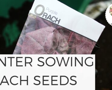 Winter Sowing Orach Seeds in Unheated Greenhouse Growing Flowers Gardening