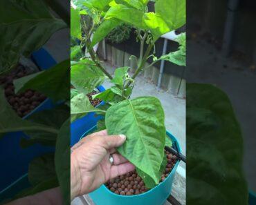Hydroponic garden update 20/1/2020