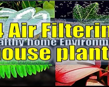 Grow these Indoor Plants for a healthy home environment for
