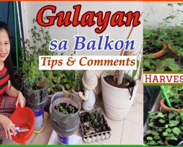 GULAYAN SA BALKON /Harvest Time /Reusable Vegetable Containers/ Tips to