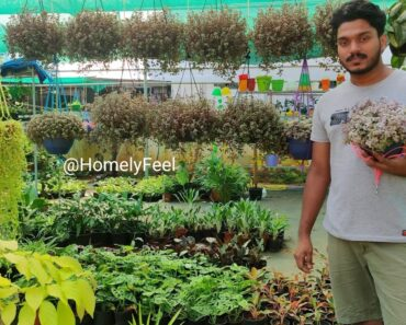 Callisia Repens/Bolivian Jew Hanging Plant Care and Propagation in Malayalam