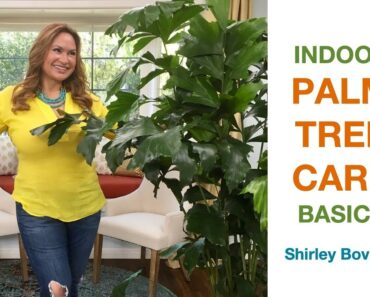 INDOOR PALM TREE CARE, (Areca Palm, Majesty Palm and more)