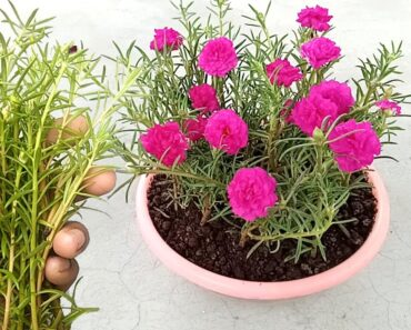 Grow Time flower / Portulaca / Table rose
