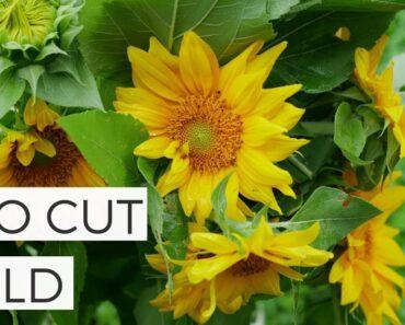 In Bloom: Pro Cut Gold Sunflower