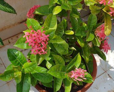 Ixora – Best Flowering Plant for Beginners |