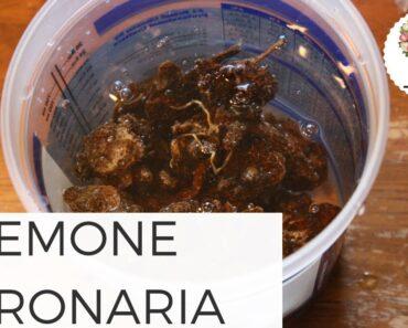 Planting Anemone Coronaria Corms Cut Flower Farm Gardening Beginners Growing