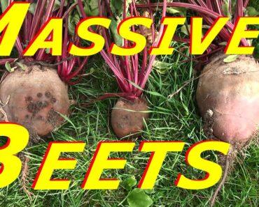 Harvesting & Processing Beet Root & Tops #121 Heirloom Organic