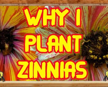 Gardening for Beginners-Square Foot Gardening-Planting Zinnias in My Square Foot