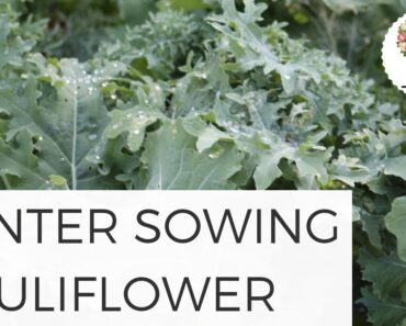 Winter Sowing Cauliflower in Unheated Hoophouse Gardening for Beginners Easy