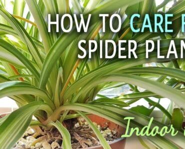 How To Care For Spider Plants Indoors