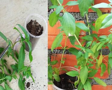 How to grow Basil cuting easy indoor gardening with plastic