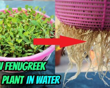 How To Grow Fenugreek or Methi plant without soil ||