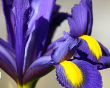 Dutch Iris Changing Colors?! Growing Flowers Cut Flower Farm Gardening