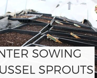 Winter Sowing Brussel Sprouts in Unheated Greenhouse Gardening for Beginners