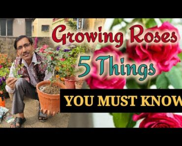 5 things You must know before growing Roses in Containers