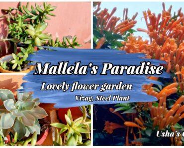 Mallela's Paradise|Beautiful flower Garden|Vizag gardenIChrysianthemum and Gladiolus garden|Marigold