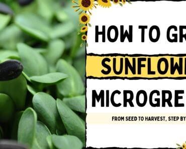 How to Grow Sunflower Microgreens