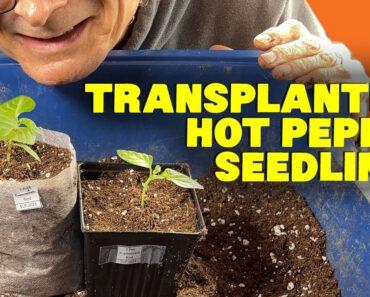 Transplanting Seedlings: 2021 Hot Pepper Grow Season Episode 2