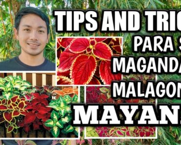EVERYTHING YOU NEED TO KNOW ABOUT MAYANA/COLEUS PLANT