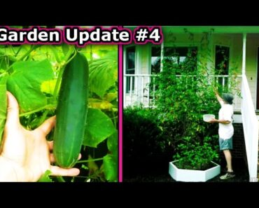 Garden Update August 11 Harvesting Raw Food Diet Healthy vegetables