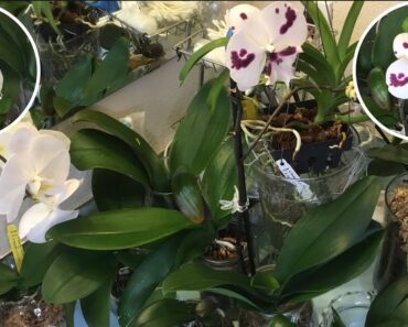 #phalaenopsis #orchids #gardening #piamilousa GROWING IN JARS ARE EASY #shorts