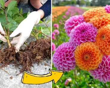 Propagating Dahlia Flowers by Branches, Easy for beginners
