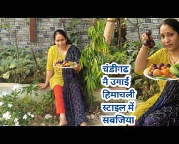 देखिए मेरे चंडीगढ के छोटे से किचन गार्डन में कितनी