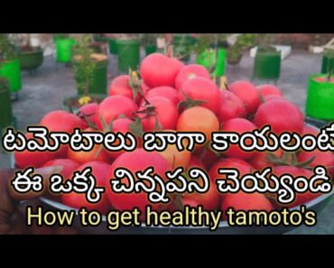 How to grow healthy tomatoes in pots|how to grow healthy