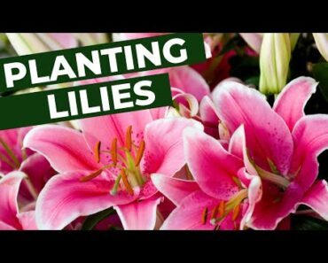 Planting Lilies in the Flower Garden (For Beginners) #flowergarden #lily