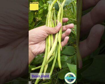 Bean, #shorts, বরবটি গাছ, How to grow beans, healthy beans,