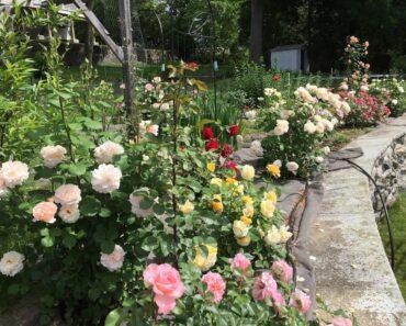 推荐给新手的懒人玫瑰,后院玫瑰园一览。 Easy & Strong Roses for Beginners