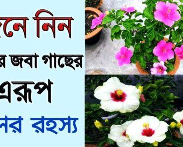 How to get maximum flowers from hibiscus জানুন আমার জবা গাছের