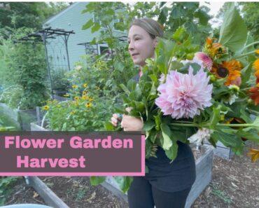 Harvesting Sunflowers and Dahlias