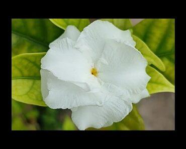 Beautiful white Jasmine Flowers #shorts