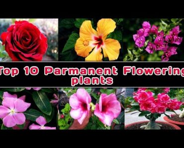 Top 10 best low budget parmanent flowering plants for beginners