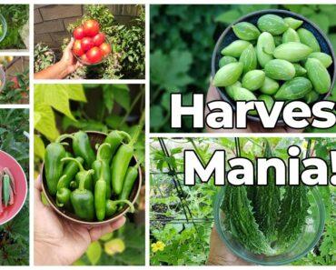 Harvest Mania! California Garden July 2021 Garden Tour Harvests &