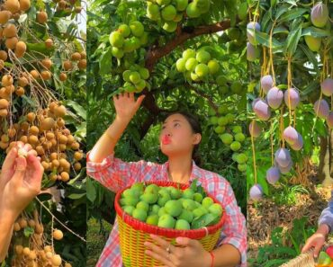 People's life, eating fruit, beautiful fruit garden (Fruit, vegetable garden)