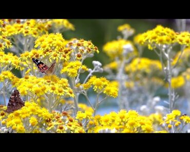 Calm Guitar Music : Easy Listening Instrumental Music with Flower
