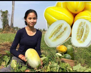 harvest melon to make dessert so yummy-healthy vegetable