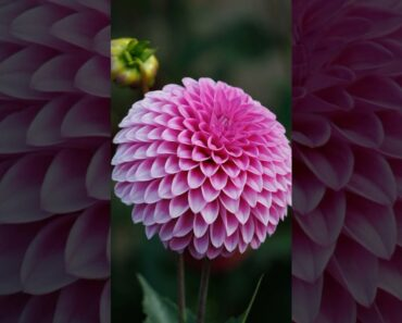 Many Colors of Dahlia Flowers Plantgardening ideas for home
