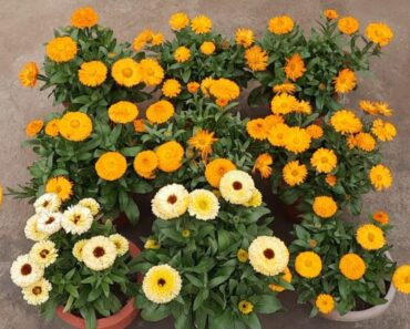 how to grow calendula flower plant in pot