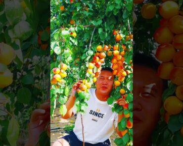 The Farm fresh, eating fruit |Fruit, vegetable garden |Shorts